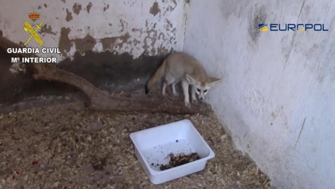 La Guardia Civil detiene a 10 personas y se incauta de 200 ejemplares de especies protegidas en la operación FENNEC