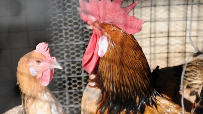 Un gallo y una gallina en un corral.