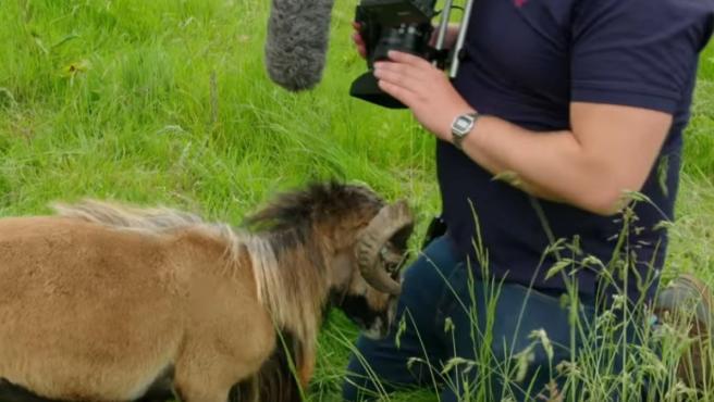 Una cabra arremete contra un cámara.