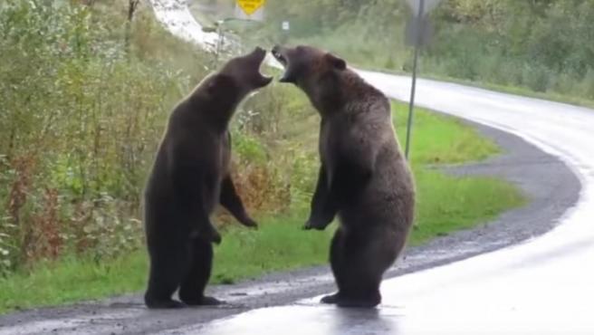 Dos osos se pelean en mitad de una carretera en Alaska.