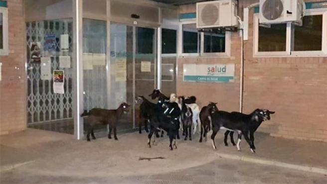Las cabras en la puerta del centro de salud de Sariñena.