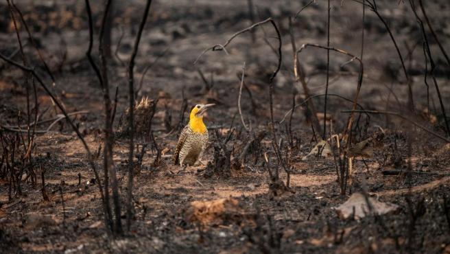 Un pájaro carpintero camina por la tierra quemada, tras un incendio en el Parque Guasu, en Asunción (Paraguay).