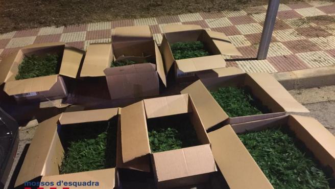 Siete cajas con 1.100 plantas de marihuana incautadas por los Mossos d'Esquadra a dos hombres en Quart (Girona).
