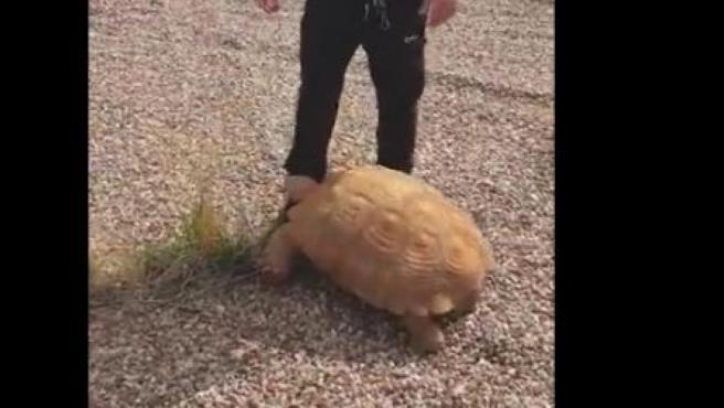 Un agente de Policía Municipal de Ciudad Real, con una tortuga de 25 kilos hallada en una rotonda.