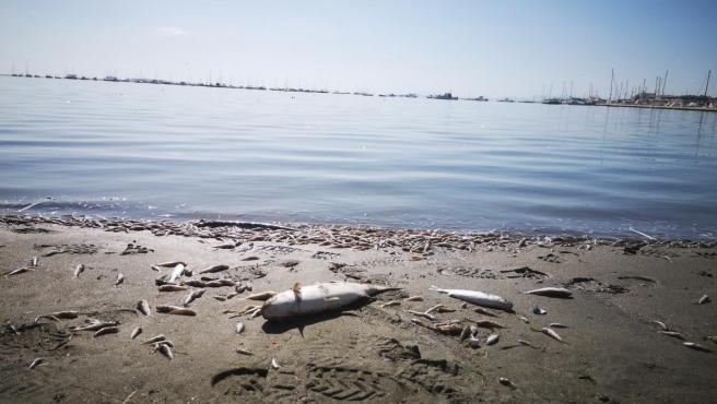 Peces muertos en la orilla del Mar Menor.