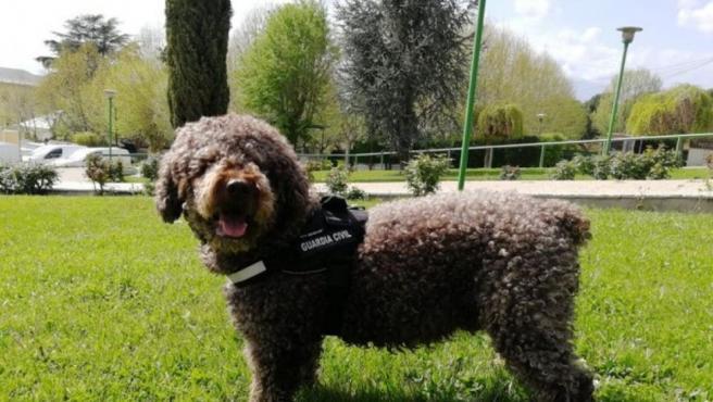 Marley, el perro de la Guardia Civil experto en restos humanos, ha muerto a los tres años de un infarto.
