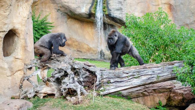 Los gorilas Echo y Buu recibirán la llegada de una joven hembra gorila para completar el grupo reproductor de esta especie gravemente amenazada
