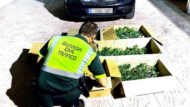 Agente Guardia Civil con las plantaciones de marihuana intervenidas en un vehículo en la A-7