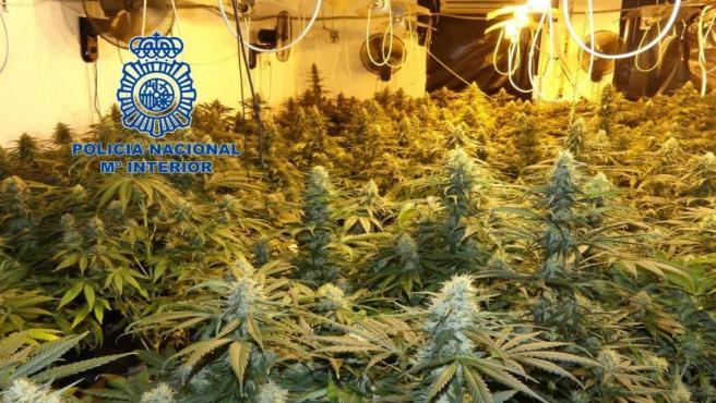 Plantación de marihuana en Elda