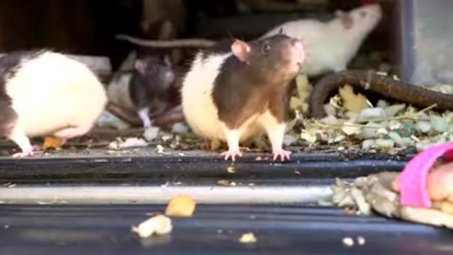 Imagen de una de las ratas restcatadas.