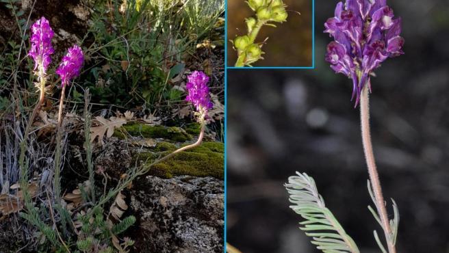 Planta nueva descubierta en la Sierra de Gredos.