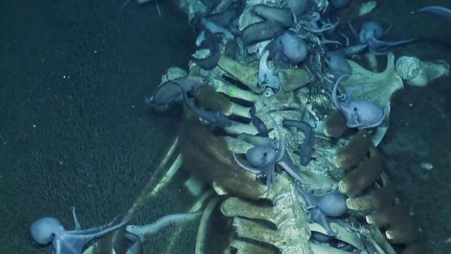 Pulpos devorando el cadáver de una ballena en el fondo del mar.