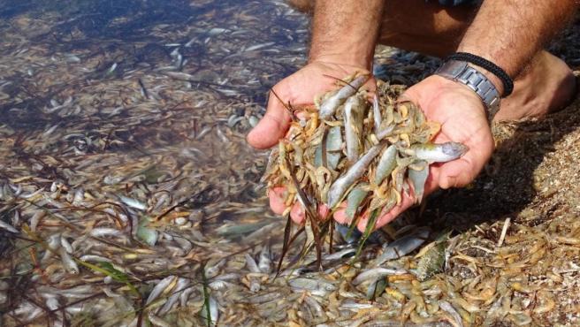 Muerte masiva de peces en el Mar Menor.
