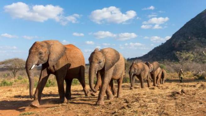 Un grupo de jóvenes elefantes africanos.