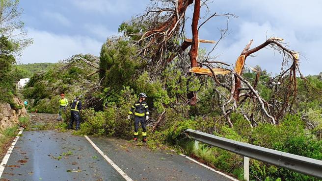 Árboles caídos en Sant Antoni (Ibiza) a consecuencia de las fuertes lluvias