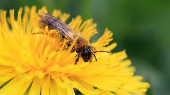 Abeja cubierta por polen