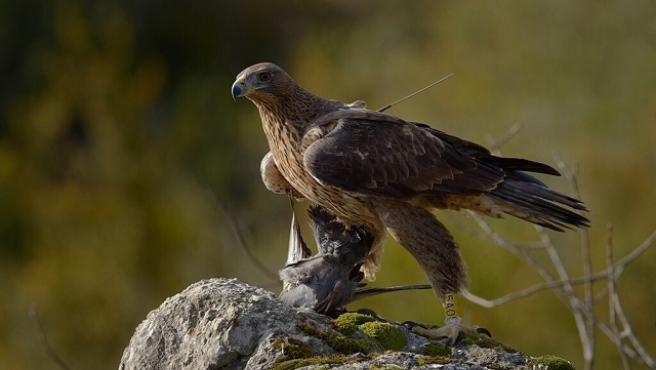 Un águila de Bonelli.