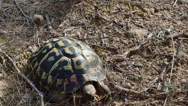 Una de las tortugas liberadas en Bovera