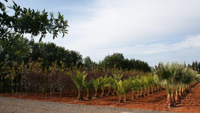 Ayuntamientos de Huelva pueden aquiriri árboles en una campaña de Diputación.