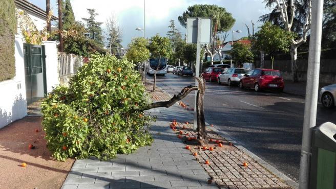 Efectos del temporal de viento con caída de árboles