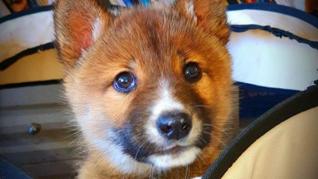 Unos vecinos de Wandiligong, en Victoria, Australia, oyeron como un cachorro lloraba en su jardín. Cuando lo encontraron, no sabían cómo había entrado, según relata ABC News. En un primer momento, pensaron que era un perro abandonado aunque, para su sorpresa, no era tal. El animal era un cachorro de dingo, en concreto una especie de este tipo de lobo que se encuentra en peligro de extinción.