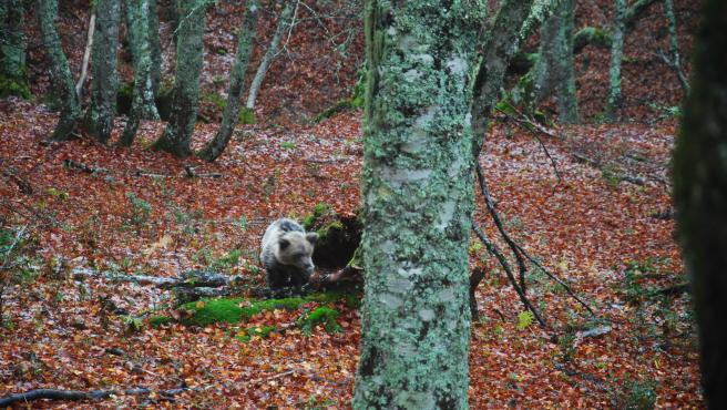 La osezna Saba regresa a su hábitat natural en Asturias tras su rehabilitación en Cantabria