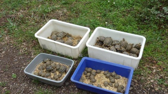 Ejemplares de tortuga mediterránea liberados en el paraje natural de l'Albera (Girona)