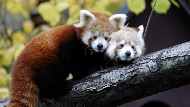 Zagreb (Croatia), 12/11/2019.- Two red panda babies sit on a tree in Zagreb's Zoo, in Zagreb, Croatia, 14 November 2019. Two red panda babies, who were born this summer in the Zagreb Zoo, have received today their names Dudek (man) and Regica (female). The names were proposed by Croatian citizens via social media and chosen by Croatian Olympics sportists, brothers Sinkovic as contribution to this year's Red Panda's day. (Croacia) EFE/EPA/ANTONIO BAT Baby Red pandas in Zagreb's Zoo