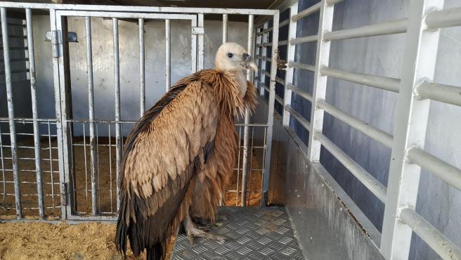 El ejemplar de buitre leonado rescatado en Puerto Lumbreras