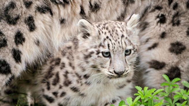 Ejemplar de leopardo de las nieves.