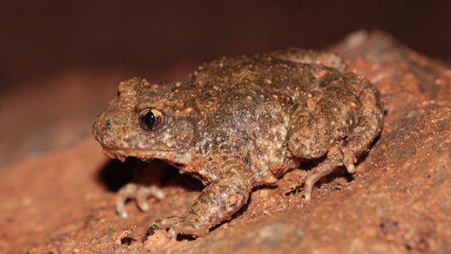 Ejemplar del sapo partero mediterráneo, Alytes almogavarii, uno de los anfibios descubiertos.