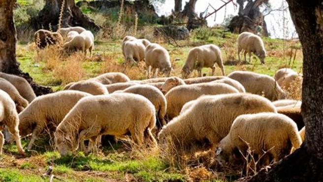 Ganado, ovejas