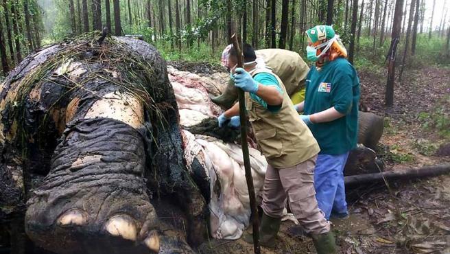 Un equipo médico de la Agencia de Conservación de Recursos Naturales de Riau (BKSDA) realiza una necropsia para determinar la causa de la muerte de un elefante. El elefante puede haber sido víctima de la caza ilegal en la zona.
