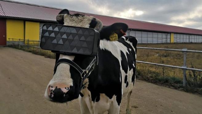 Las vacas de una granja de Moscú, con las ganas virtuales.