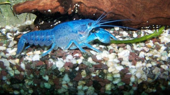 Un ejemplar de cangrejo azul como el encontrado en Navarra.