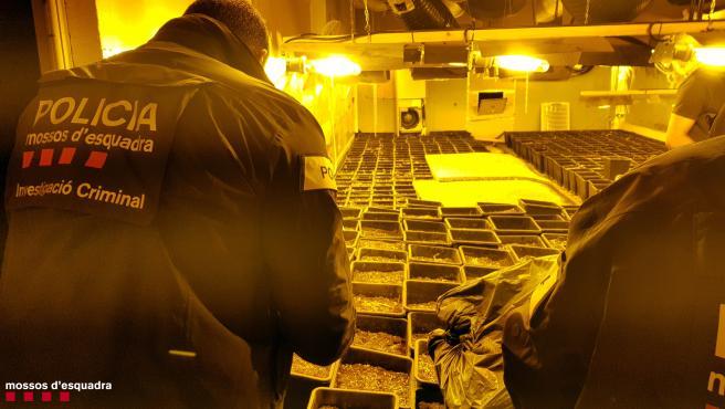 Mossos d'Esquadra desmantelan una plantación de marihuana en una nave de Tarragona.