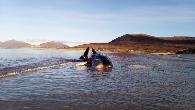 Cachalote muerto en la Isla de Harris.