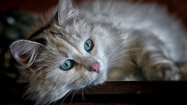 Esterilizar a un gato evitará muchos problemas de comportamiento.