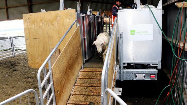 """una oveja tras introducirse en una cámara de medición de valores de metano en una granja que cría ovejas con una """"baja emisión de metano"""", uno de los gases que contribuyen al calentamiento del planeta en Sídney,"""