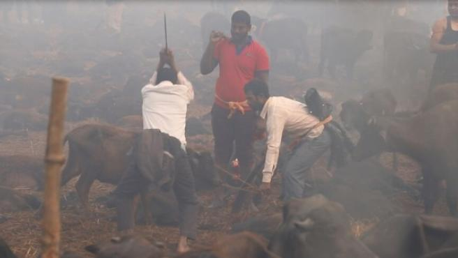 Decenas de miles de hindúes devotos han abarrotado un templo en el sur de Nepal donde cerca de 300.000 ejemplares (6.000 búfalos, entre ellos) serán sacrificados durante una semana.