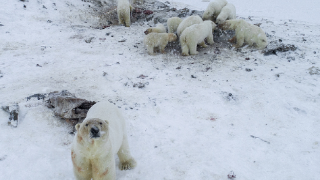 Osos polares en un pueblo de Rusia.