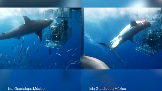 Un activista mexicano ha denunciado en un vídeo un caso de negligencia y maltrato animal ocurrido el pasado 6 de dicembre en Isla Guadalupe (México) y que acabó con la vida de un ejemplar de tiburón blanco.