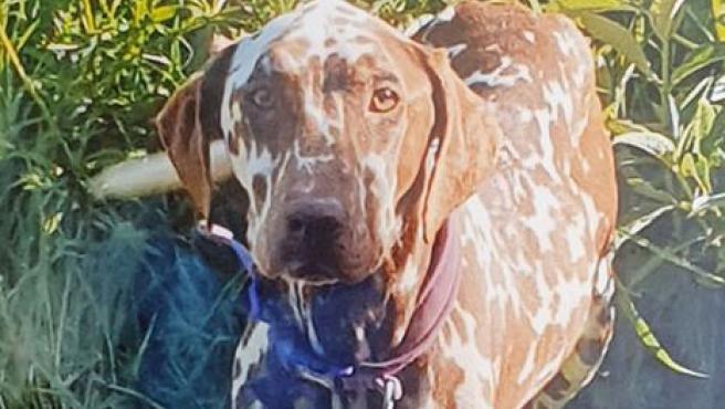 Imagen difundida en las redes sociales de la dálmata Lottie, una perra de terapia de una niña con autismo que fue robada.