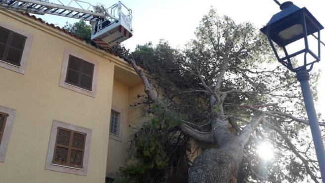 Árbol caído en Mallorca a consecuencia de los fuertes vientos