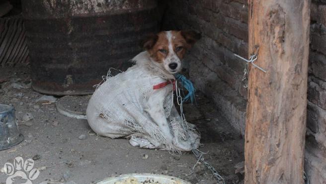 Perro maltratado en Indonesia.