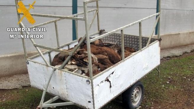 Investigan a un ganadero de Badajoz por dejar morir de hambre a 60 ovejas merinas y herir a otras 300