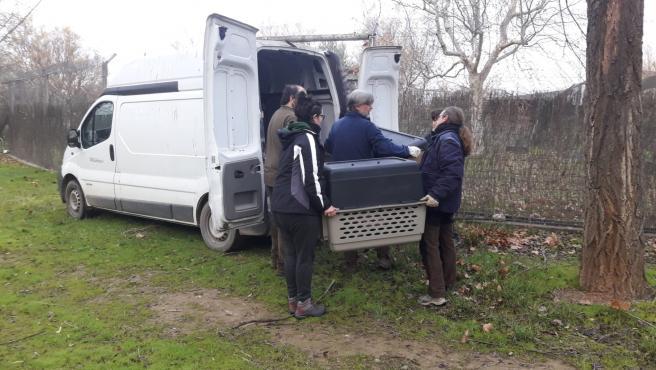 Trasladan a Israel diez buitres recuperados en Vallcalent (Lleida) para ser liberados