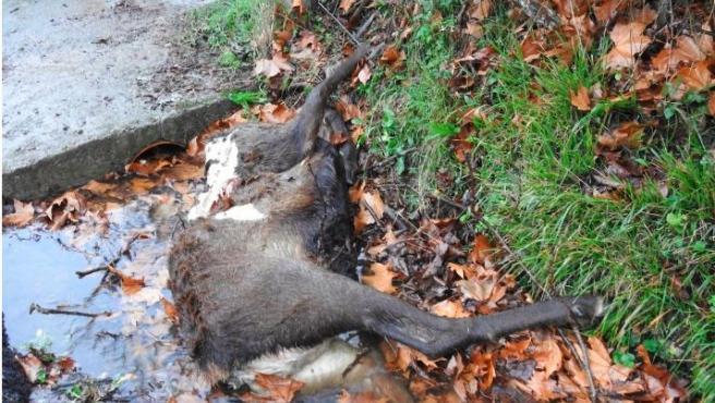 Un ciervo decapitado en el Parque Nacional de la Ubiñas, en Asturias.