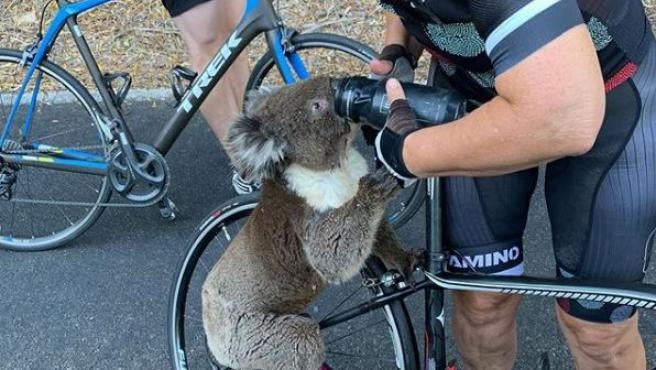 Un koala para a una ciclista y le pide agua en plena ola de calor en Australia
