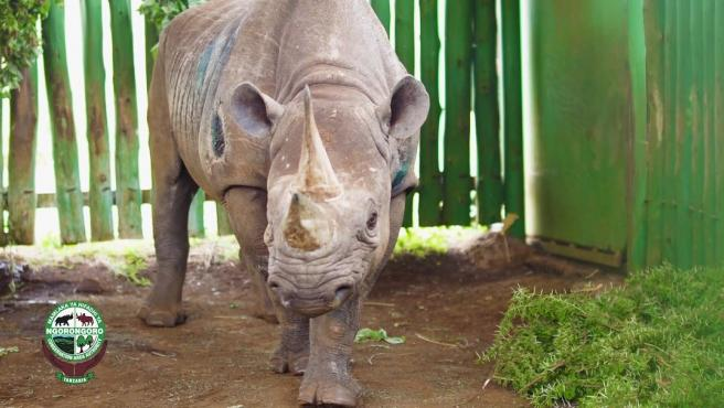 Fausta, el rinoceronte más longevo del mundo.